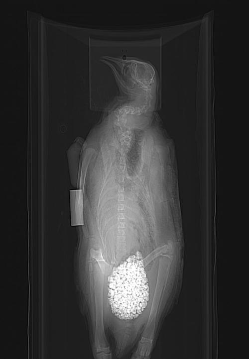 Calling all penguin experts! What's up with this? Is that really how much gastrolith volume a penguin carries, or did a museum curator stick rocks up its bum? Seems very caudal in position. I'm fascinated.