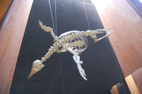 "Magellanic penguin skeleton, ""flying"" through the Punta Tombo visitor centre."