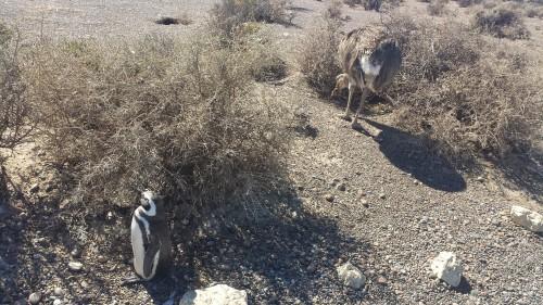 rhea-penguin