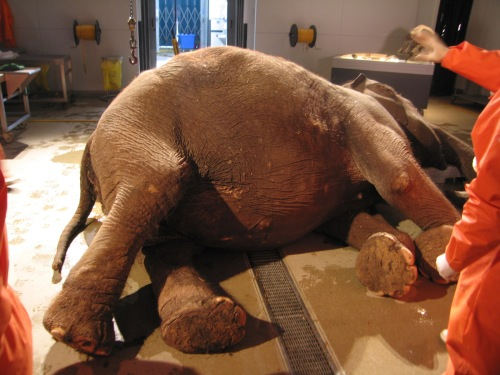 Before the scalpel: the elephant from Inside Nature's Giants