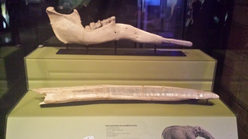 The lower jaw (top) and fairly straight tusk (bottom) of the widespread, early elephantiform Gomphotherium.
