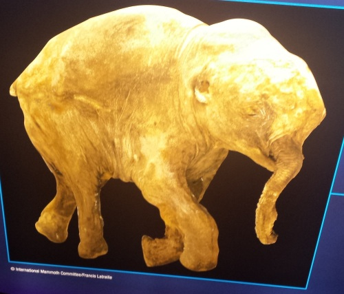 Whole view from an exhibit panel (you cannot photograph the specimen but these are fair game!). Here we see hair on the right forearm and remnant of the ear, and the labia and nipples showing it is a female mammoth are also preserved. The head-hump is lost during growth, and the shoulder changes to change the Asian elephant-like convex curvature of the back into the characteristic humped-shoulder form of a mammoth. But ontogeny still reveals the evolutionary connection of Elephas and Mammuthus.
