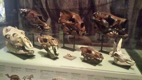 Skulls of North American megafauna: left to right, top to bottom: horse, short-faced bear, giant sloth, then camel, sabretooth,  rabbit, direwolf (viva Ned Stark!), and pronghorn antelope.