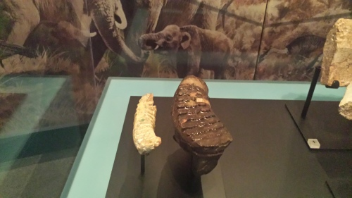The world's smallest mammoth (left), molar tooth compared with that of its much larger ancestor Palaeoloxodon. The status of Mammuthus creticus as a dwarf mammoth from Crete was cemented by Victoria Herridge and colleagues, including Adrian Lister at the NHM.