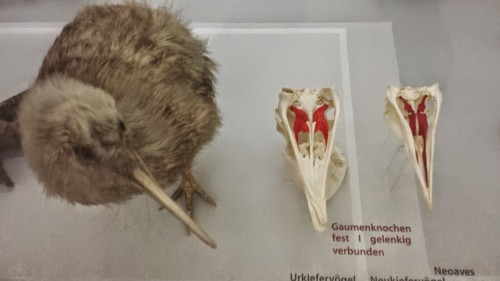 Kiwi considers the differences in modern bird palates: palaeognathous like it and fellow ratites/tinamous (left), and neognathous like most living birds.