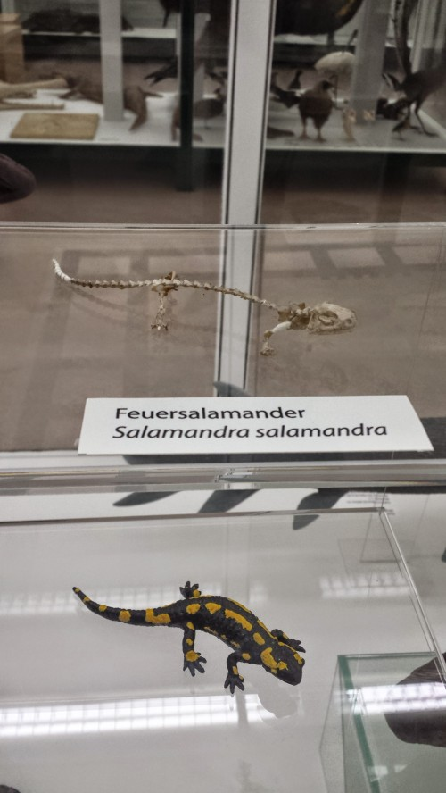 Fire salamander! We love em, and the museum had several on display- given that we were studying them with x-rays, seeing the skeleton and body together here in this nice display was a pleasant surprise.