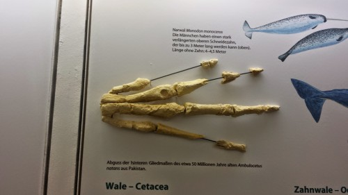 Hand (manus) of the early stem-whale Ambulocetus.