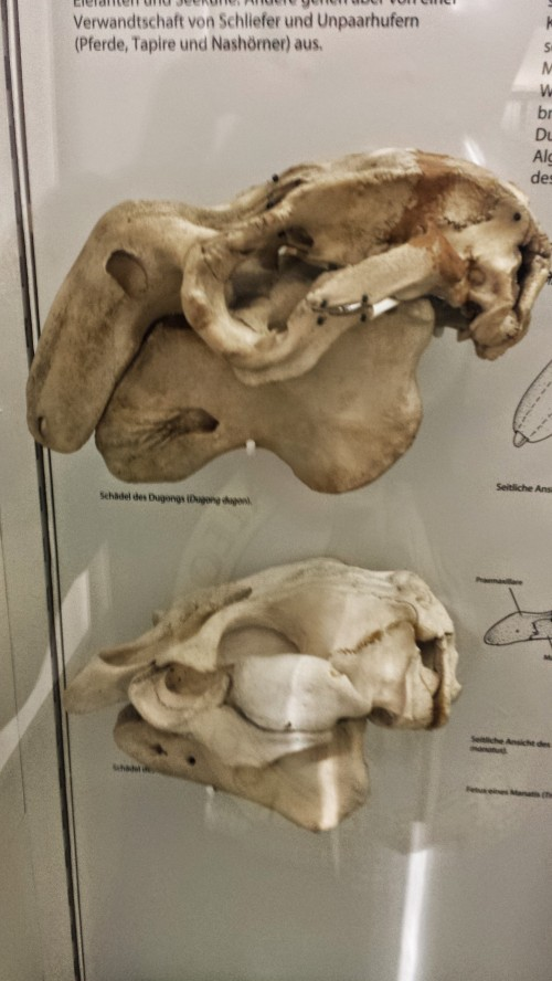 Skulls of dugong (above) and manatee (below).