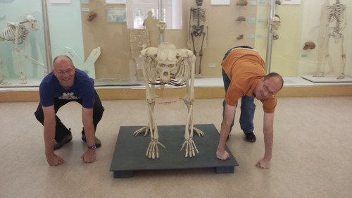 "Gorilla see, gorilla do. Notice ""bent hip, bent knee"" vs. ""upright modern human"" hindlimb postures in the two non-skeletal hominids."
