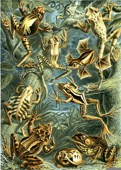 Cavorting frogs from Haeckel's masterpiece Kunstformen der Natur (1904).