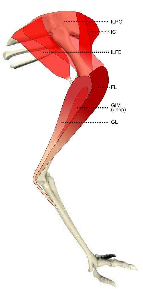 Superficial layer of leg muscles in an emu, in right side view.