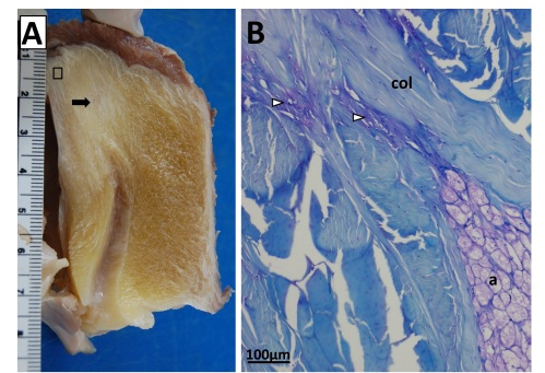 Sectioning of a Southern Cassowary's knee extensor tendon, showing: A Similar section  as in the emu image above. revealing similar regions and fibrous tissue (arrow), with no patella, just fat; and B, with collagen fibre bundles (col), fat cells (a), and cartilage-like tissue (open arrows) labelled.