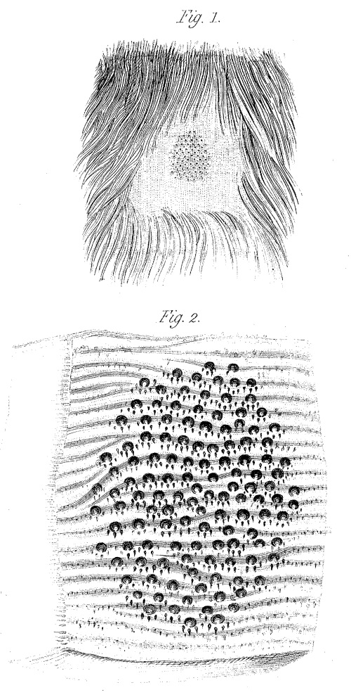 """Areola"" of the female platypus in the abdominal region, with embiggened version below. From: Richard Owen, On the Mammary Glands of the Ornithorhynchus paradoxus. Philosophical Transactions of the Royal Society of London Vol. 122 (1832), pp. 517-538 http://www.jstor.org/stable/107974 FREE!"