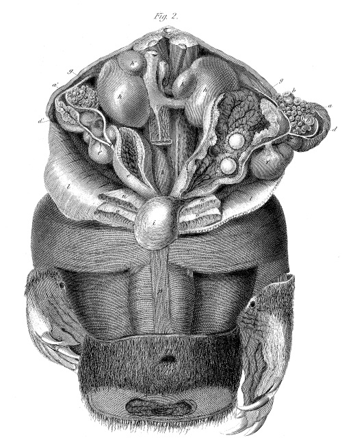Dissection of a female platypus, showing the egg-laying apparatus. From: On the Ova of the Ornithorhynchus paradoxus Richard Owen Philosophical Transactions of the Royal Society of London Vol. 124 (1834), pp. 555-566. http://www.jstor.org/stable/108077 FREE!