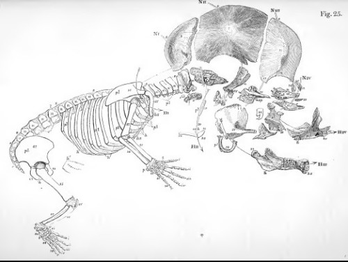 Foetal skeleton of a human, with skull exploded for comparison of homologies. From Owen 1847 as above.