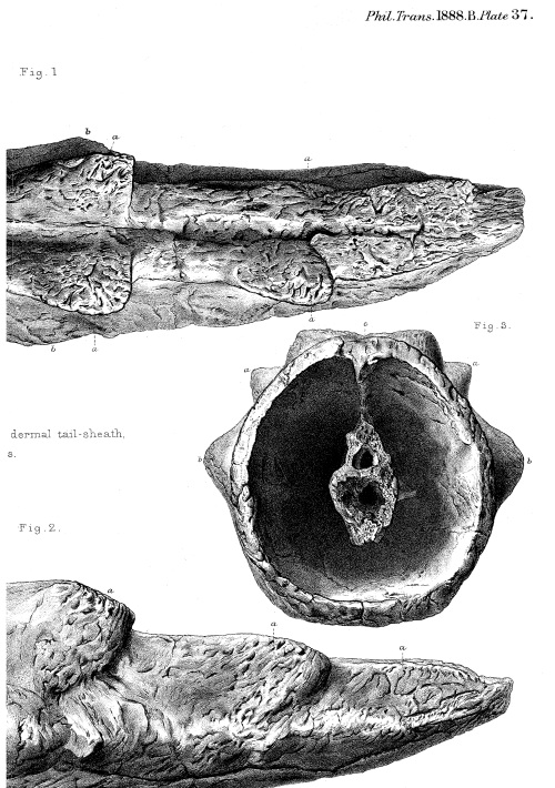 Tail sheath/club of Meiolania! from Owen, R. (1888). On parts of the skeleton of Meiolania platyceps (Ow.). Philosophical Transactions of the Royal Society of London. B, 181-191. http://www.jstor.org/stable/91676 FREE!
