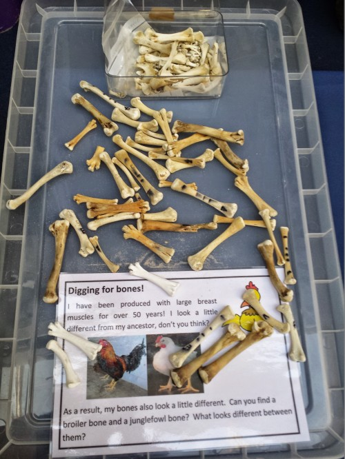 Our RVC chicken research team (postdocs/fellows Drs. Heather Paxton, Jeffery Rankin, Diego Pereira-Neves) presented a stall with motion capture and chicken bones, like this fun identification display.