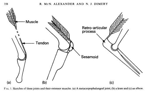 How do muscles work around joints? Alexander and Dimery 1985 figured out some of the key principles.