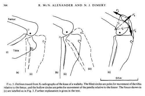 What does a kneecap (patella) do? Alexander and Dimery 1985, they knew. My team is still trying to figure that out!