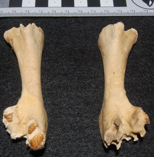 Hatchling ostrich thigh bones (femora), showing the un-ossified ends that in life would be occupied by thick cartilage.