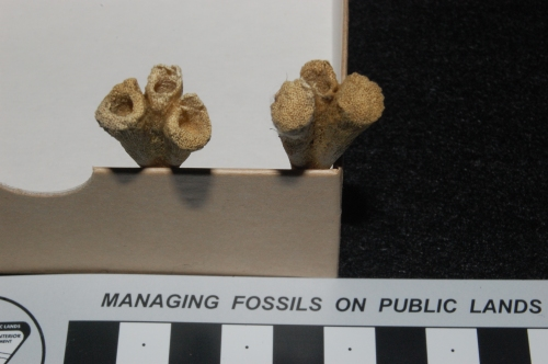 "Looking down at the top/ankle end of the tarsometatarsal (sole) bones in a hatchling ostrich: the three bones are separate and hollow, where ""cartilage cones"" would have filled them in."