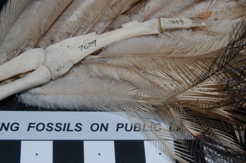 Kiwi (Apteryx australis mantelli) hand, showing feather attachments and remnant of finger(s).