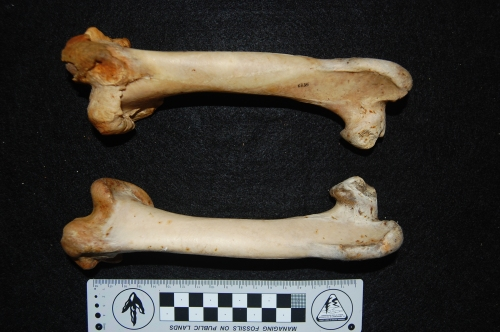 Rhea pennata (Darwin's rhea) femora (thigh bones), left (top) one with major pathology on the knee end; overgrown bone. Owie!