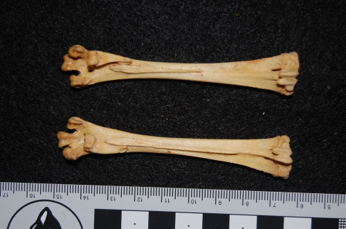Ossified tendons (little spurs of long, thin bone) on the soles of the feet (tarsometatarsal bones) of a brush-turkey (Alectura lathami)- seldom described in this unusual galliform bird or its close relatives, and thus nice to see. These would be parts of the toe-flexor tendons.