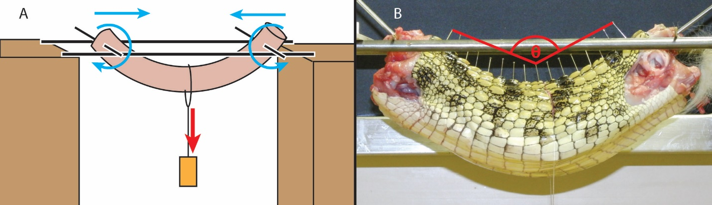 Guest Post Croc Backbones Through Deep Time Whats In Johns Freezer