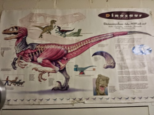 Poster of Velociraptor's anatomy I've had since grad school, adorning my office. For ~1996, it's damn good, mostly... (placeholder photos until I get to the office tomorrow and take better ones!)
