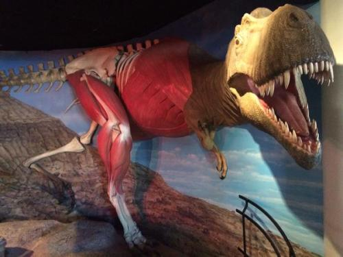 Skinned Albertosaurus from the Drexel Academy of Sciences. I forget where I got this pic but I like the display.