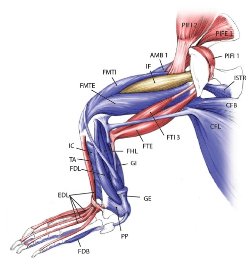 Julia Molnar's fabulous illustration of Alligator's limb muscles, from our 2014 paper in Journal of Anatomy.