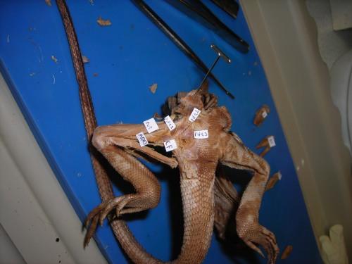 Looking up at the belly of a basilisk lizard and its dissected right leg, with the end of the CFL labelled.