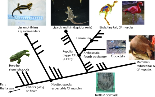 Better Know A Muscle: The Evolution of M. caudofemoralis (longus)