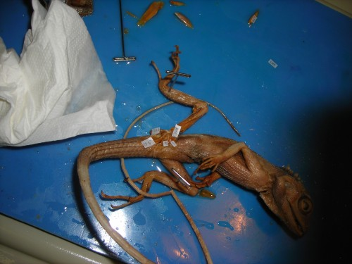 An unspecified iguanid(?) lizard, probably a juvenile Iguana iguana, dissected and showing its CFL muscle at its end. The muscle would extemd about halfway down the tail, though.