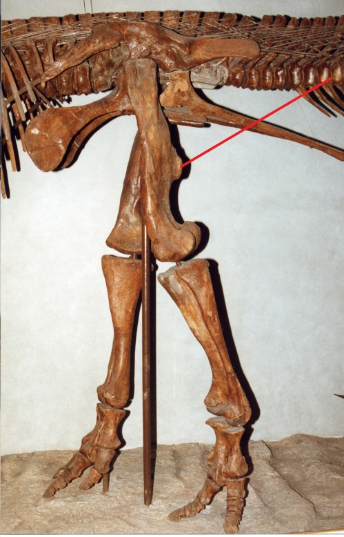 A large duckbill dinosaur's left leg, with a red line drawn in showing roughly where the CFL would be running, to end up at the fourth trochanter. Many Mesozoic dinosaurs have skeletal anatomy that indicates a similar CFL muscle.