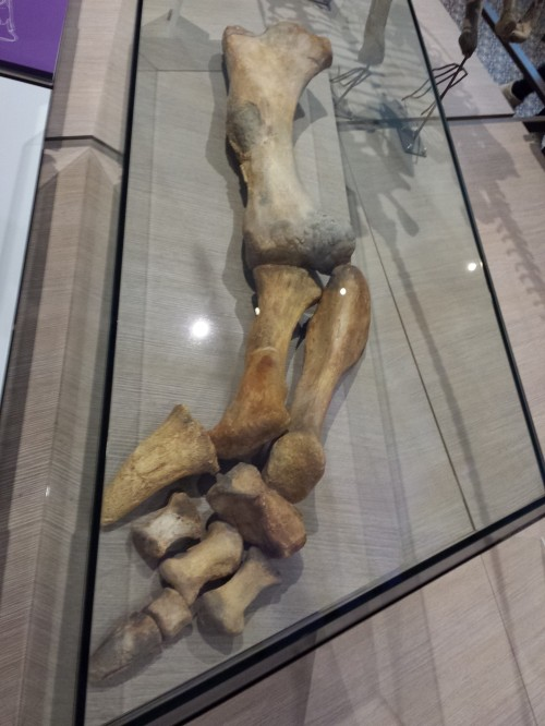 The very, very strange iguanodontian dinosaur Lurdusaurus (forelimb; note the big spiky thumb claw), which I was pleased to see at the natural history museum in Brussels, Belgium in 2015.