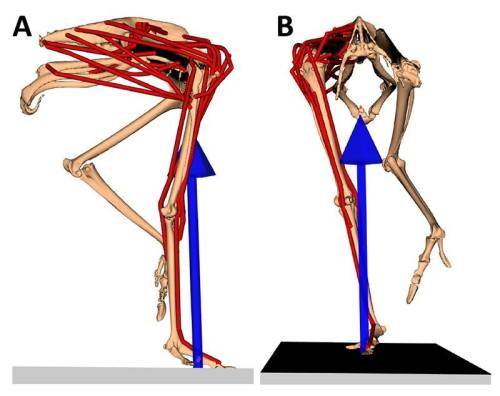 Our model; in right side view (on the left) and frontal view (on the right), with muscles in red and the leg's force as the blue arrow; frozen at the middle of a step.