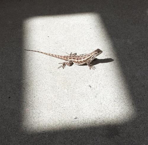 A sunny Sceloporus fence lizard seen in LA.